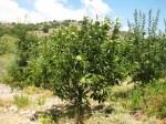 Kastana tree