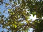Wallnut tree